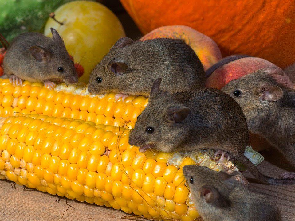 De ratones y hombres. Crítica de libros, librosynovelas