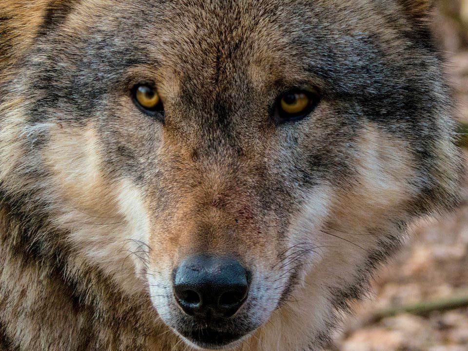 El lobo estepario. Crítica de libros, librosynovelas.es Libros y Novelas